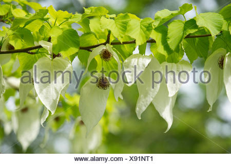 Handkerchief tree (Davidia involucrata) flowers and leaves, native to China - Stock Photo