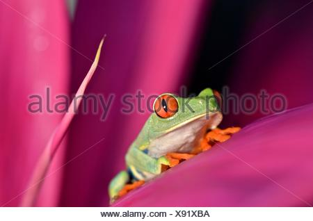 A red eyed tree frog, Agalychnis callidryas, rests on a leaf at Tortuguero National Park. Stock Photo