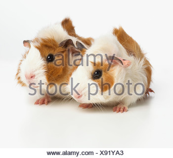 Young Abyssinian guinea pigs - Stock Photo