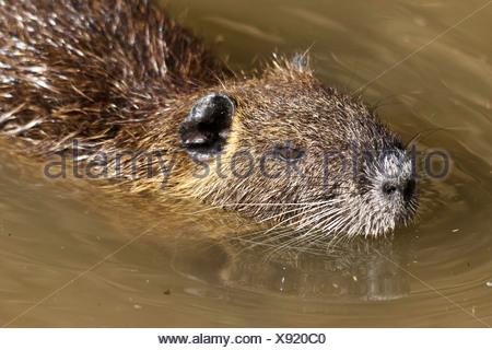 Coypu, Myocastor coypus, Myocastoridae, Plano, Texas, USA, animal, den, herbivorous, invasive species, nutria, pest, semi aquati - Stock Photo