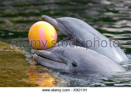 Two common bottlenose dolphins playing with ball in water - Stock Photo