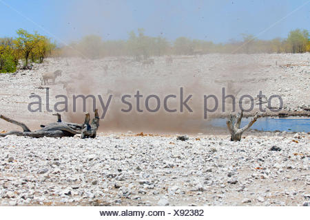 dust devil whirling up sand and stones near a waterhole with zebras, Namibia, Etosha National Park, Naumutoni - Stock Photo