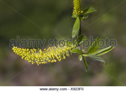 willow catkin Salix spec. - Stock Photo