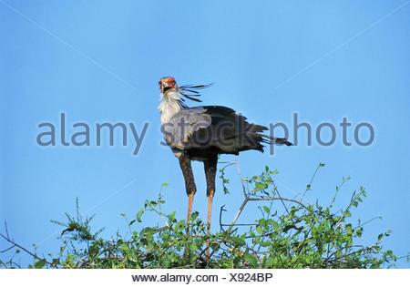 Secretary Bird, sagittarius serpentarius, Adult, Serengeti Park in Tanzania - Stock Photo