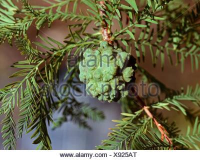baldcypress (Taxodium distichum), cone on a branch - Stock Photo