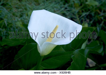 Calla (Zantedeschia aethiopica), Cape Province, South Africa - Stock Photo