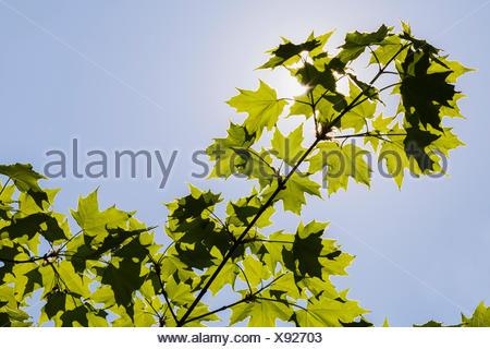 Backlit Acer - Maple tree leaves against blue sky in spring - Stock Photo