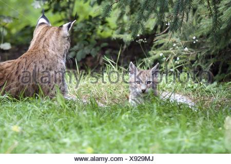 young lynx - Stock Photo