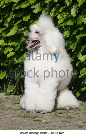 Miniature Poodle (Canis lupus f. familiaris), white miniature poodle sitting in front of hedge - Stock Photo