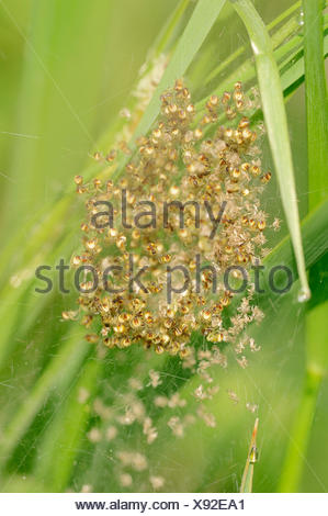 Four-spot Orb-weaver (Araneus quadratus), juveniles in a web, North Rhine-Westphalia, Germany - Stock Photo