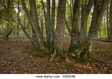 Small-leaved Lime Tilia cordata ancient coppiced trunk growing woodland habitat Langley Wood National Nature Reserve Wiltshire - Stock Photo