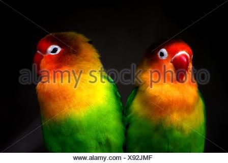 Lovebirds - Stock Photo