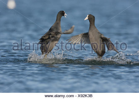 Common Coots fighting for food and territory - Stock Photo