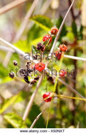 Yellow Himalayan raspberry (Rubus ellipticus), with thorns, invasive species, Big Island, Hawaii, USA - Stock Photo