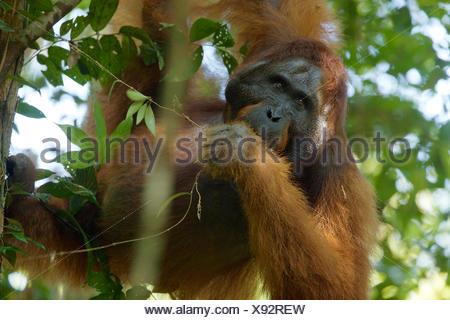 An adult male Bornean orangutan, Pongo pygmaeus wurmbii, rests on a tree branch in Gunung Palung National Park. - Stock Photo