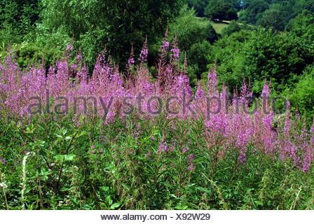 Fireweed, blooming sally, Rosebay willow-herb, Great willow-herb (Epilobium angustifolium, Chamerion angustifolium), blooming, Germany - Stock Photo