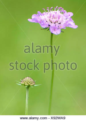 Pincushion Flower, Shining Scabious, Glossy Scabious (Scabiosa lucida), inflorescences, Germany, Bavaria, Werdenfelser Land - Stock Photo