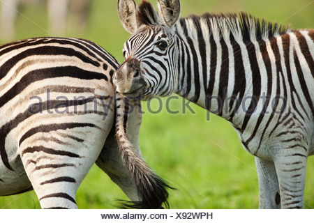Burchell's Zebras (Equus quagga burchellii), KwaZulu-Natal, South Africa - Stock Photo