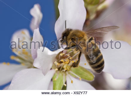 Tonsil blossoms, western honeybee, Apis mellifera, Majorca, almond tree, period of bloom, blossoms, petals, dust vessels, nature, animal, insect, hymenoptera, bee honey, nectar, pollen, nectar robbery, collect, - Stock Photo