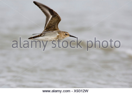 Flying first-winter Dunlin - Stock Photo