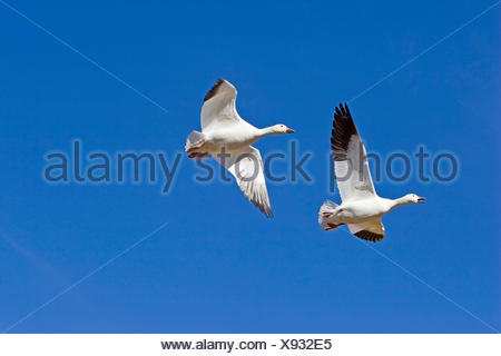 snow goose (Anser caerulescens atlanticus, Chen caerulescens atlanticus), flying, USA, New Mexico - Stock Photo