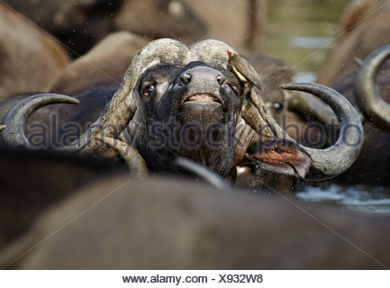 African Buffalo Syncerus caffer adult male close-up head with Red-billed Oxpecker Buphagus erythrorhynchus amongst herd in - Stock Photo