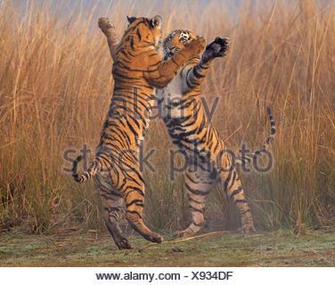 Bengal tiger (Panthera tigris tigris) 11 month cubs play fighting, Ranthambhore National Park, India. - Stock Photo