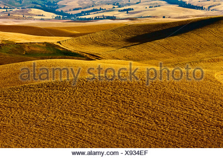 Rolling hills of mature wheat ready for harvest in late afternoon light / near Pullman, Palouse Region, Washington, USA. - Stock Photo