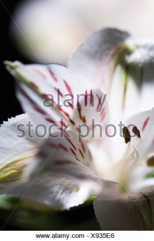 Alstroemeria lily, extreme close-up - Stock Photo
