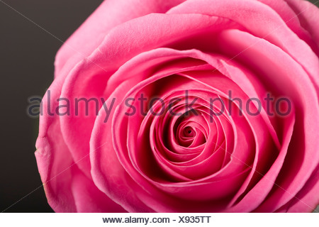 Pink rose, close-up, overhead view - Stock Photo