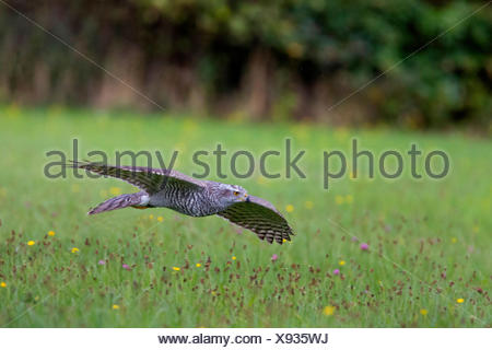 northern goshawk (Accipiter gentilis), flying over a meadow, Germany, Bavaria, Niederbayern, Lower Bavaria - Stock Photo