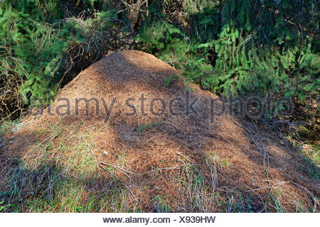 Anthill of the Big Red Wood Ant (Formica rufa), Tyrol, Austria Stock Photo