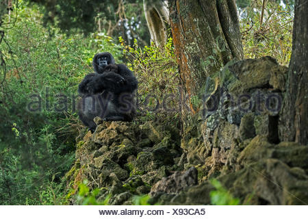 A mountain gorilla forages outside Volcanoes National Park. - Stock Photo
