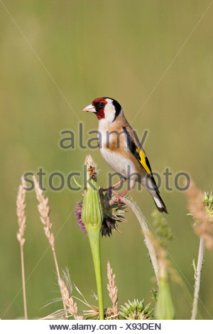 European Goldfinch (Carduelis carduelis) - Stock Photo