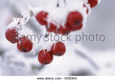 Fruits of European Mountain Ash (Sorbus aucuparia). Bavaria. Germany - Stock Photo