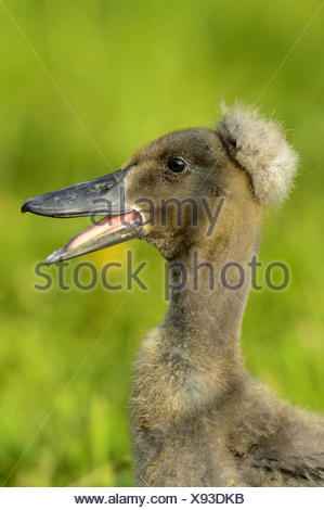 Indian Runner Duck, Indian Runner (Anas platyrhynchos f. domestica), duck chick quaking in a meadow - Stock Photo