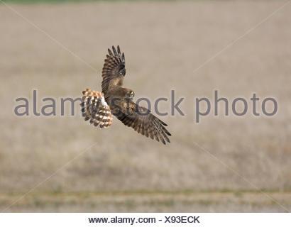 Montagu's Harrier - Circus pygargus - female - Stock Photo