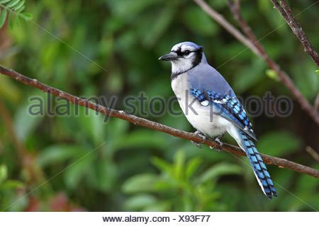 blue jay (Cyanocitta cristata), sits in a tree, USA, Florida, Everglades National Park - Stock Photo