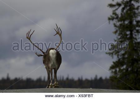 European reindeer, European caribou (Rangifer tarandus tarandus), male, back view, Sweden, Flatruet - Stock Photo