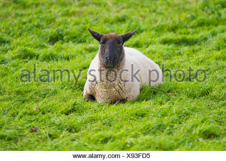 A sheep laying in the grass in Dartmouth, England. - Stock Photo