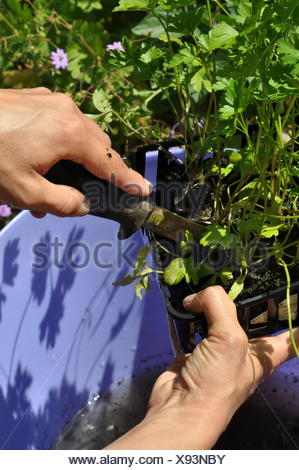 Plantation of aromatic plants in a container - Stock Photo