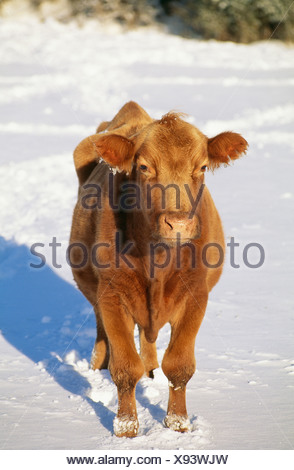 Cow standing on snow covered landscape - Stock Photo