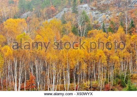 Birches, spruces and aspens on a hillside in late autumn Greater Sudbury Ontario - Stock Photo