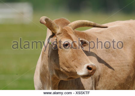 Domestic cattle, Bos primigenius taurus, portrait, side view, - Stock Photo