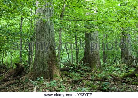 Three giant trees in natural stand of Bialowieza forest, Poland, Podlasie Province - Stock Photo