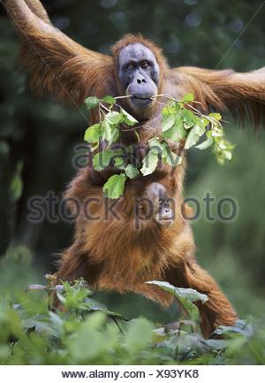 Sumatran orangutan mother and baby - Stock Photo