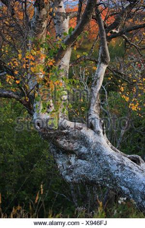 tree at the Kincade Park, USA, Alaska, Anchorage - Stock Photo