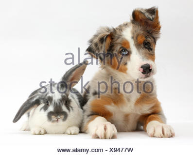 Tricolour merle Collie puppy, Indie, age 10 weeks, with blue-and-white rabbit. - Stock Photo