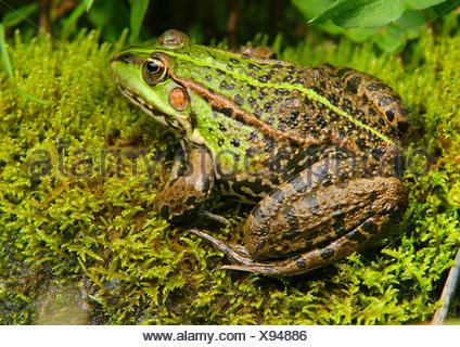European edible frog, common edible frog (Rana kl. esculenta, Rana esculenta, Pelophylax esculentus), sits on moss, Germany - Stock Photo