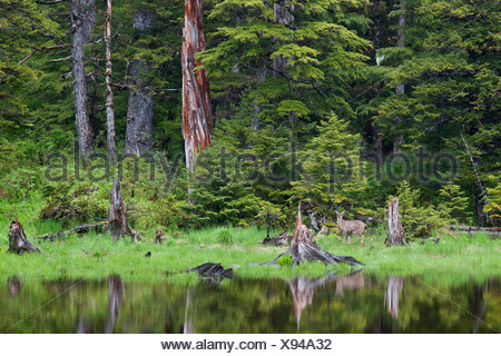 Sitka Black-tailed deer standing by pond in the rainforest, Hinchinbrook Island, Prince William Sound, Southcentral Alaska - Stock Photo